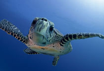 Tortue Maldives