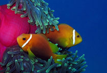 Poisson-clown aux Maldives